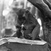 "Image of ""Jocko"" 1 - ""Dick Baxter's pet monkey Jocko"""