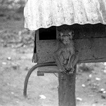 "Image of ""Jocko"" 9 - ""Dick Baxter's pet monkey Jocko"""