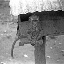 "Image of ""Jocko"" 10 - ""Dick Baxter's pet monkey Jocko"""