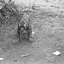 "Image of ""Jocko"" 14 - ""Dick Baxter's pet monkey Jocko"""