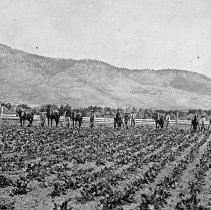"Image of Alicel, Farm Cultivation - ""Ruckman Farm Scenes - Alicel Area - Cultivating Sugar Beets with horse drawn units - 1902"""