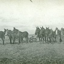 "Image of GRV, Farming - ""Three six-mule teams in field prepared to pull plows. - circa 1900's""  Written on photograph:  ""Ready for work"""