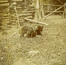 """Image of Union, Bear Cubs - """"Two bear cubs by a wooden fence."""""""