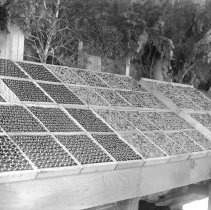 """Image of Cove, Cherry Fair Display 6 - """"Fifth Annual Cherry Fair cherry display - 1915 - Cove, Oregon."""""""