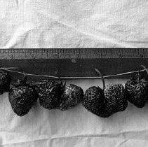 "Image of Cove, Strawberries - ""Strawberries against a one foot ruler for scale - circa 1914.  Probably grown in the area of Cove, Oregon."""