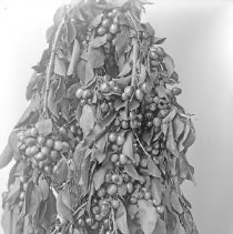 Image of Cove, Cherry Fair Cherries 2 - Cherry Fair cherry branch laden with fruit - circa 1914 - Cove, Oregon.