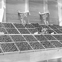 Image of Cove, Cherry Fair Display 20 - Cherry Fair cherry display - circa 1917 - Cove, Oregon.  The cherries have been identified as being grown by Karl L. Stackland [and] C.M. and G.G. Stackland.  The pennants in the background read:  'Cove's Got 'em - Cove Cherry Fair.'  [Image most likely taken by photographer, Mae Stearns.]