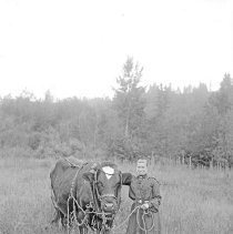 Image of Cove, Woman & Cow - An older woman is standing in a field with a large cow that is harnessed.  [Image most likely taken by photographer, Mae Stearns.]