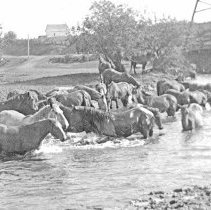 Image of GRV, Horses - A herd of horses plunges into a small river near a steel bridge.