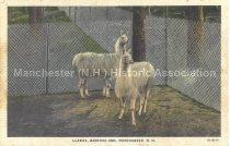 Image of Postcard, Llamas, Bedford Zoo, Manchester, N.H. - 2016.033.008