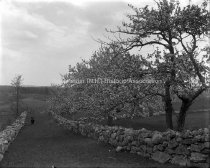 Image of Apple Tree in Blossom Lane from City Farm - MHAGN 023