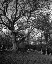 Image of Chestnut Tree near Uncanoonuc Mt. - MHAGN 037