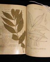 Image of Botanical specimen