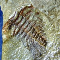 Image of 1988.086.005 - Fossil