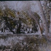 Image of Seney Island trees (foot of Phillips Ave.), n.d.