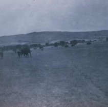 Image of Buffalo at the Scotty Phillips Ranch near Fort Pierre, SD, n.d.