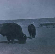 Image of Buffalo at Scotty Phillips Ranch near Fort Pierre, SD, n.d.