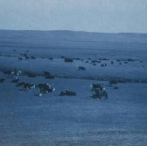 Image of Cattle and cowboys at unidentified location, ca. 1910