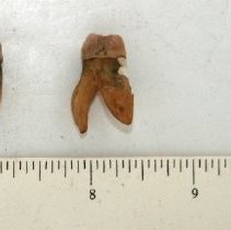 Image of FIC09.18.96 - Gold Filled Teeth (2)