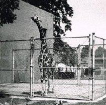 Image of Giraffe at Columbus Zoo in 1976 - Delaware - Ohio