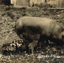 """Image of """"Sausage Plants"""" postcard"""