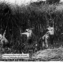 Image of Picture of Wheat being harvested in 1910