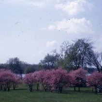 Image of Red bud blossoms - on Scioto River - Delaware County - Ohio