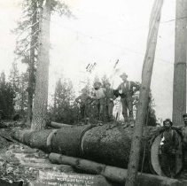 "Image of P28764 - A crew of lumberjacks standing around a fallen tree cut into section ready for loading on the train. There's 4 men standing on the logs and 2 men are standing at the end of the logs. Photo was taken at Camp 20 of the Westside Lumber Company. Note at the bottom of the negative in the middle says: "" This photograph was taken at Camp 20 Westside Lumber Co. Tuolumne Calif. Photo by Gillett "". Westside Lumber Company.
