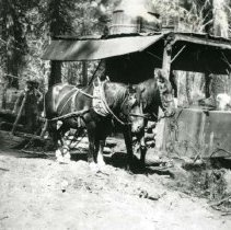 Image of P28813 - Two draft horses delivering a load of firewood to the steam donkey. The driver of the horses is standing behind them next to the sled. Westside Lumber Company.  The negative is made from the copy of a print.
