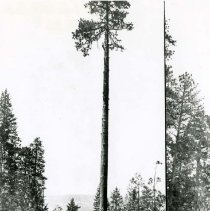 Image of P28825 - A high tree climber John Kibby in the process of topping a spar pole tree.  Forest and mountains are in the background. There is a double image in the negative. Tuolumne County. Westside Lumber Company.  The negative is made from the copy of a print.