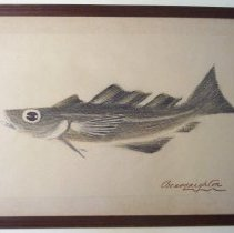 Image of C06.521 - Drawing of a Cod