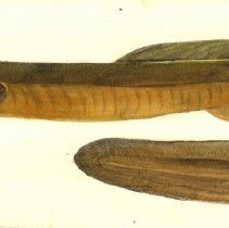Image of C09.007.1 - Drawing of eel
