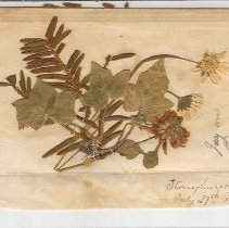 Image of C11.514.1-2 - Souvenir Pressed Flowers