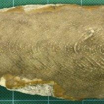 Image of C13.500 - Cuttlefish Bone