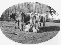 Image of SM191 - Agriculture - Domesticated Animals