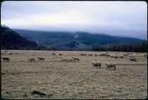 Image of DH3891 - Sheep in Field