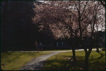 Image of DH4327 - Flowering Trees