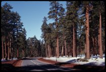 Image of DH19592 - Boise Trip: Ponderosa Pines and Snow