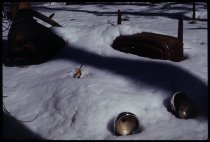 Image of DH19597 - Boise Trip: Ponderosa Pines and Snow