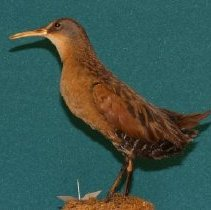 Image of 1993.17.008 - Dwight E. Newberry Bird Collection
