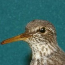Image of 1993.17.015 - Dwight E. Newberry Bird Collection