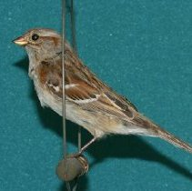 Image of 1993.17.062 - Dwight E. Newberry Bird Collection