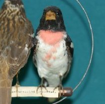 Image of 1993.17.114 - Dwight E. Newberry Bird Collection