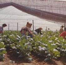 Image of Postcard showing workers in a shade tobacco field