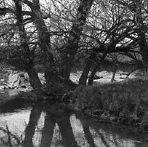 Image of Tree branches overhanging pond