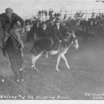 Image of Donkey rodeo
