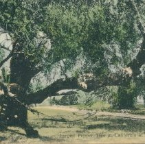 Image of Largest pepper tree in California - Fremont Blvd    - Print, Photographic