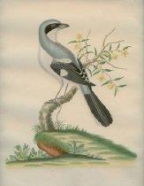 Image of watercolor - Great Annereas Shrike