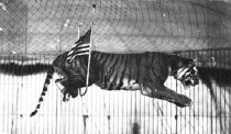 "Image of CWi 23 - Rudolph Mathhies. ""The Seven Terribles."" Tiger jumping through elevated U hoop."