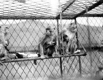 Image of CWi 1132 - Monkeys